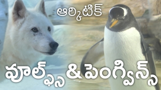 Chimelong Ocean Kingdom has Penguins and the Polar Exhibit for Wolves